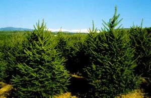 evergreen_trees-576